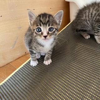 靴下猫ちゃんオスとキジトラメス