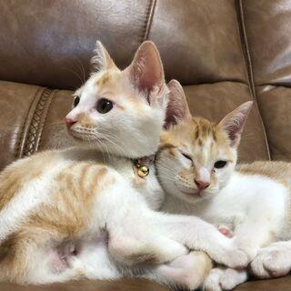 いつも仲良し 兄妹猫 2カ月 茶白の2匹(遺棄からレスキュー)