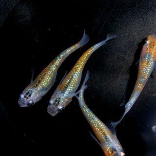 ユリシスめだか 大き目の稚魚1cm以上 2ペア
