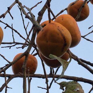 旬の柿狩り体験&種まき体験