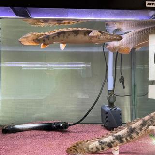 【ネット決済】熱帯魚 ポリプテルス