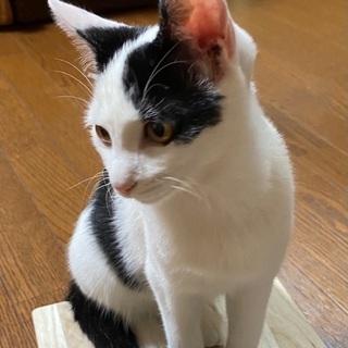 7ヶ月頃の中猫ちゃん(メス)