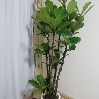 【ネット決済】カシワバゴムの木