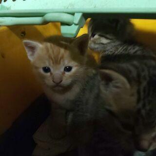 生後1,5ヶ月の子猫