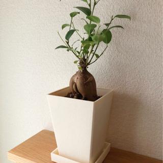 観葉植物 ガジュマル(20) 32cm 3号鉢と受け皿付き
