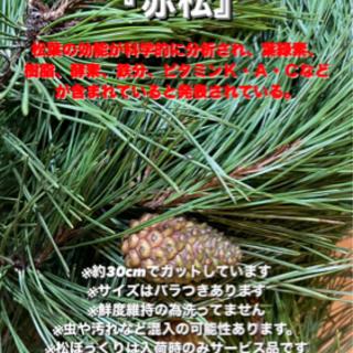 赤松 松葉 国産、無農薬 フレッシュ3kg