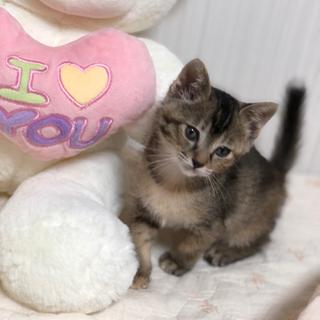 お目目クリクリ♡耳が小さく可愛いキジ猫♡