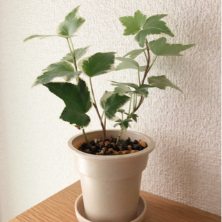 観葉植物 へデラヘリックス・グレーシャー(アイビー) 19…