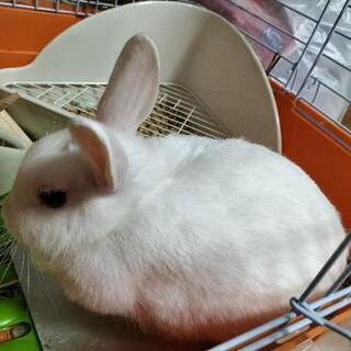 ミニウサギです!里親募集中です!