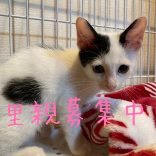 人懐っこい白黒子猫 生後2ヶ月 オス