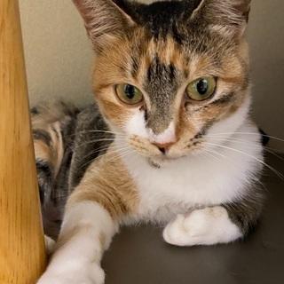 避妊手術済み!人懐っこい迷い猫の三毛ちゃんです。