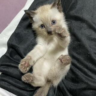 保護子猫達です。シャムミックス青目 キジ白 白黒 黒🐾