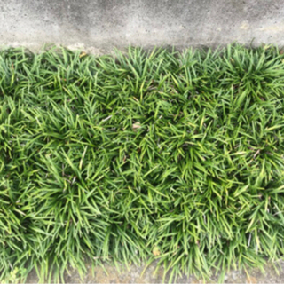 雑草対策に❗️玉竜