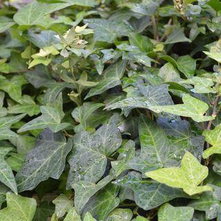 【受付中・送付可能】 鉢植え イングリッシュアイビー(セイ…