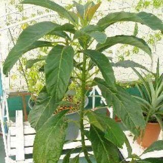 【受付中・送付可能】アボカド 苗木② お庭でも♪ 室内の観…