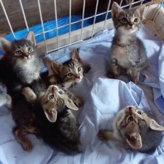 子猫の里親募集(生後2ヶ月のキジ6兄妹)