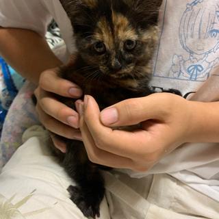可愛いサビの仔猫ちゃん💕風邪治療中 トライアル開始