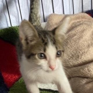 白血病キャリア キジシロ子猫