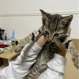 里親急募! 生後2ヶ月のオス猫です! 説明文読んでください