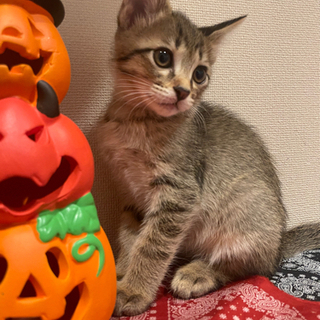 ☆里親募集☆2ヶ月の兄妹猫