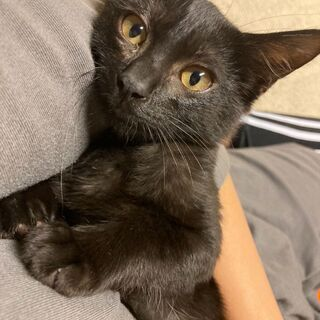 キリっと美人の黒仔猫3カ月