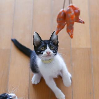 10月17日(日) 三鷹で猫の譲渡会🌷黒白の男の子生後3ヵ月 よ...