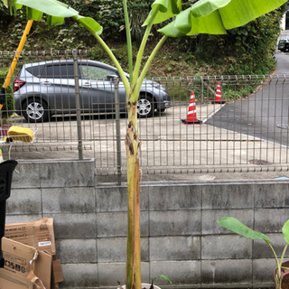 極甘 ブラジリアンバナナ苗