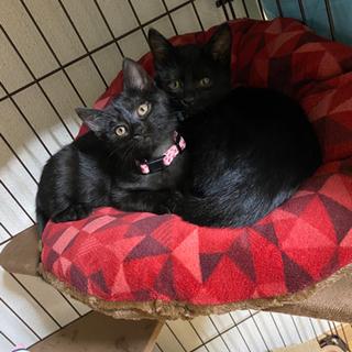 仲良し黒猫のオスメス仔猫ちゃん2匹