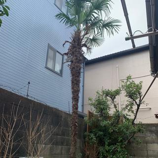 ソテツ? 木 庭木 ガーデニング 庭造り 植木