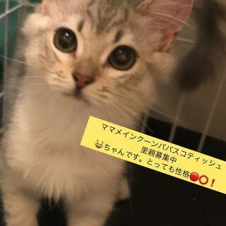 メインクーン ミックスシルバー 里親譲渡子猫アゴはネコにてお世話...