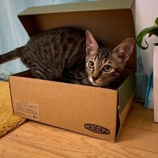 【急募】キジネコ子猫
