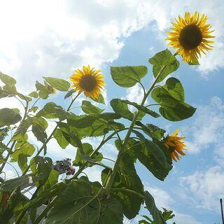【無料】植物の種 来年の種まき用 ひまわり30粒前後 マリーゴー...