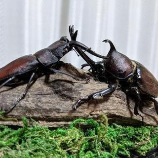 ジオラマ標本 カブクワ ノコギリクワガタ カブトムシ 船橋産 昆虫採集