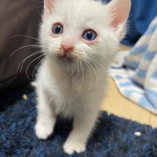 白猫 子猫 オッドアイ