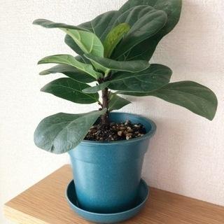 観葉植物 フィカス・リラータ(カシワバゴムノキ) 23cm…