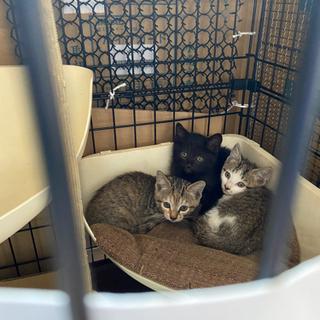 里親募集 1ヶ月半くらいの子猫 2匹