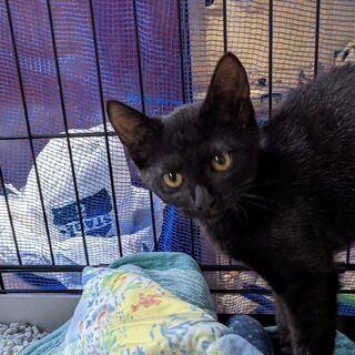 黒色の子猫、ピッコロです