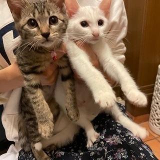 シロとキジの女の子 2ヶ月