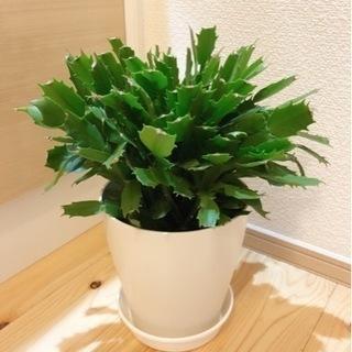 観葉植物 デンマークカクタス 35cm 6号の鉢と受け皿付き