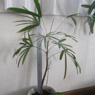 シュロチク 棕櫚竹 鉢ごと