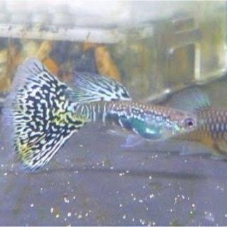 国産グッピー稚魚②