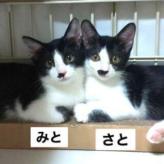 ☆★ハチワレ姉妹★☆ 約3カ月