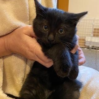 黒子猫 生後2か月 オス