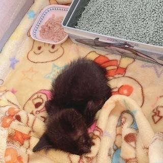 生後1ヶ月 黒猫の子猫ちゃん
