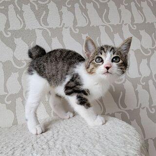 生後1ヶ月半のキジ白「コトちゃん」♀