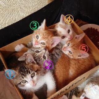 猫エイズキャリアの子猫5匹の里親様募集してます。