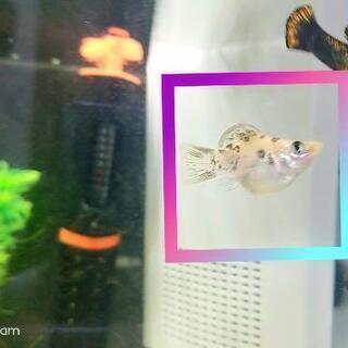 熱帯魚 ダルメシアンバルーンモーリー