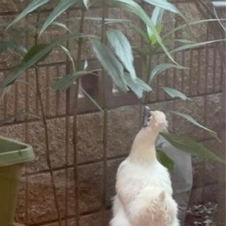 烏骨鶏 雌 1歳 お引き取り予定