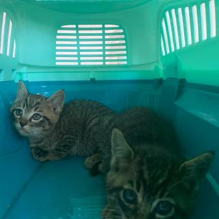 生後1ヶ月の仔猫2匹