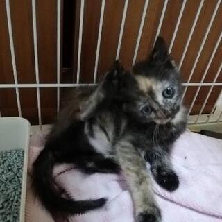 サビ猫 2ヶ月 女の子 元野良